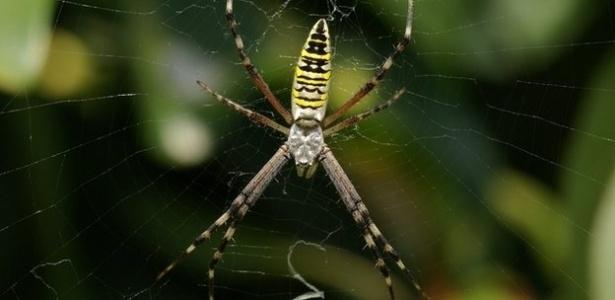 24.set.2012 - Aranhas 'decoram' teias para fisgar mais presas, diz estudo sul-coreano. As teias que têm zigue-zague conseguem atrair o dobro dos insetos em relação àquelas que não os possuem, pois esses padrões refletem muito mais raios ultravioleta do que outras partes da teia