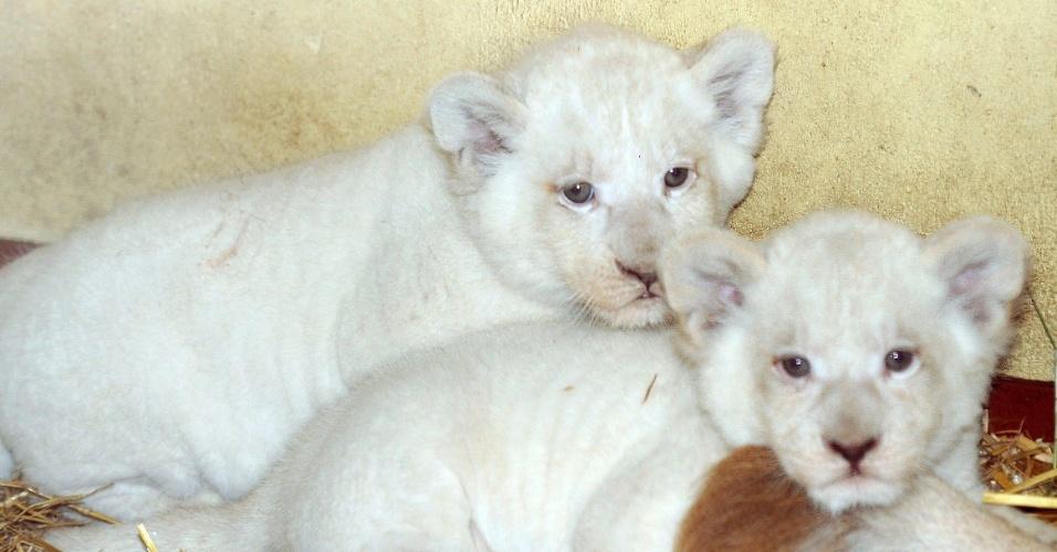 24.set.2012 - Dois filhotes de leão branco, com seis semanas de idade, se ficam juntos em parque em Hodenhagen, na Alemanha