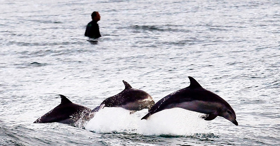24.set.2012 - Golfinhos saltam ao lado dos surfistas que esperam por ondas na praia de Bondi Beach, em Sydney, Australia. Os animais são facilmente avistados ao longo da costa australiana, aproximando-se para se alimentar