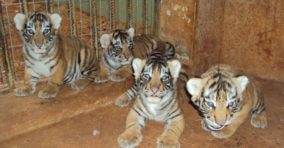 24.set.2012 - Imagem mostra quatro filhotes de tigre real de bengala que nasceram no zoológico de Goiânia