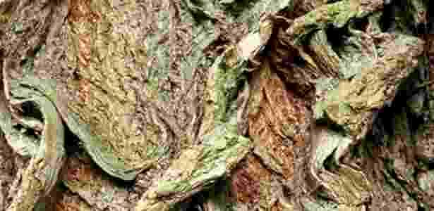 26.set.2012 - A madeira do salgueiro-branco (Salix alba) tem propriedades anti-inflamatórias e que combatem à febre bem próximas às de um famoso comprimido. O ácido acetilsalicílico, principal componente da Aspirina, é metabolizado pelo corpo rapidamente como ácido salicílico, o principal fármaco da salicina, extrato ativa da casca da árvore - Thinkstock/Getty Images - Thinkstock/Getty Images