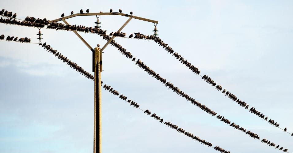 1º.out.2012 - Pássaros repousam sobre fios de poste em Strazeele, na França