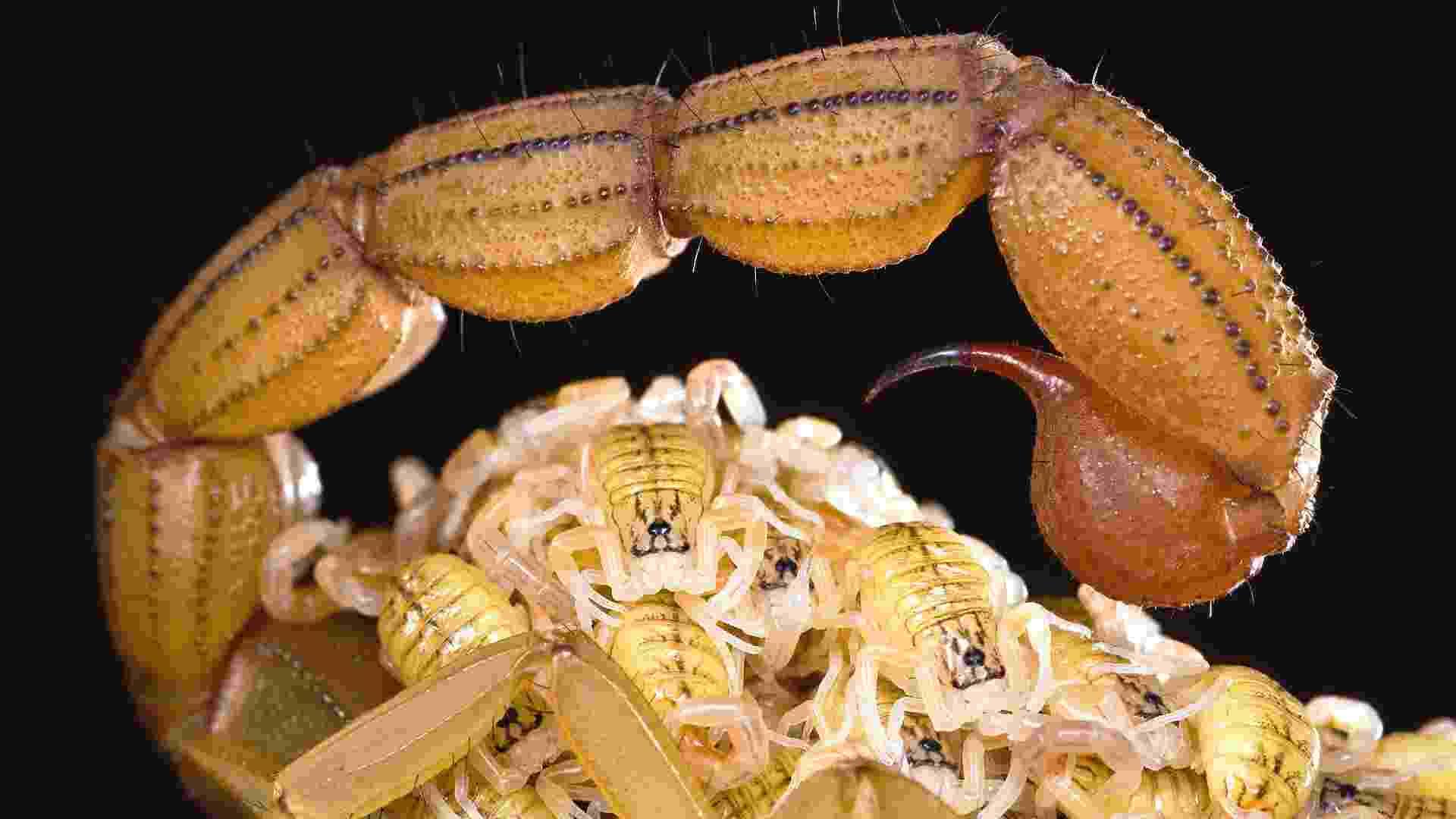 """3.out.2012 - Para proteger escorpiões recém-nascidos de predadores, suas mães costumam abrigá-los próximos ao """"ferrão"""". Esta imagem, intiulada """"Nova Vida"""", venceu o prêmio-máximo do Prêmio Fritz Pölking  - Ingo Arndt/BBC"""