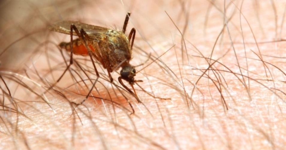 05.out.2012 - A fêmea do mosquito Anopheles mata mais de um milhão de pessoas por ano. O inseto é o mais letal do mundo animal porque é transmissor da malária, doença que mais gera problemas sócio-econômicos no mundo e é considerado um problema de saúde pública em mais de 90 países - cerca de 2,4 bilhões de pessoas (40% da população mundial) convivem, ainda hoje, com os risco de contágio. No Brasil, principalmente na região amazônica, até 500 mil pessoas são infectadas por ano