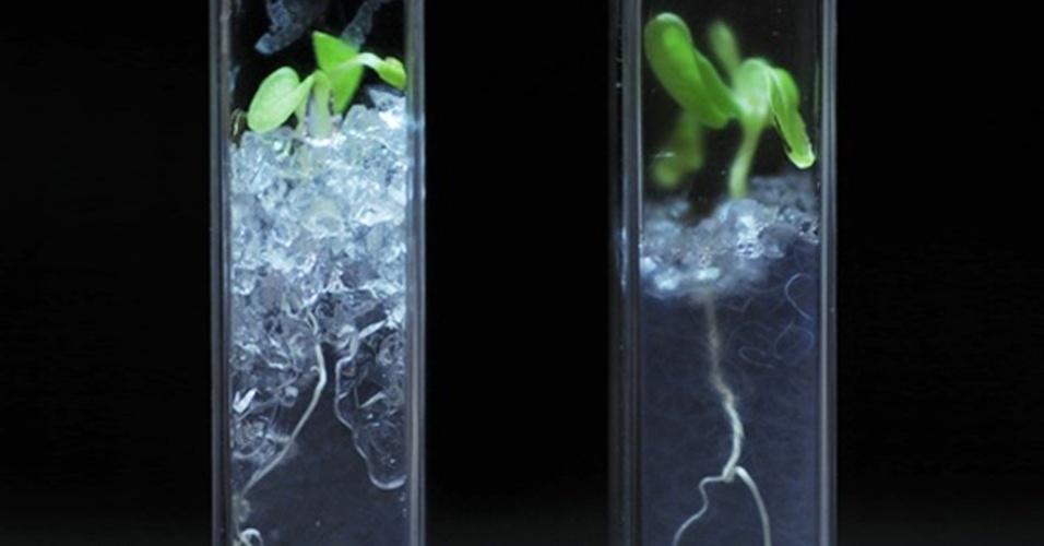 5.out.2012 - Pesquisadores da Austrália desenvolveram um solo transparente, que vai ajudar no estudo das raízes das plantas ainda debaixo da terra. A equipe do Instituto James Hutton e da Universidade de Abertay Dundee levou dois anos para produzir um material capaz de recriar a química do solo e permitir o crescimento natural de qualquer tipo de vegetação