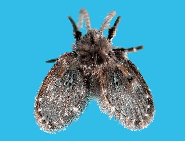 Minúsculas, mas não invisíveis: mosquinhas não causam mal a saúde, mas podem provocar incômodo - Divulgação