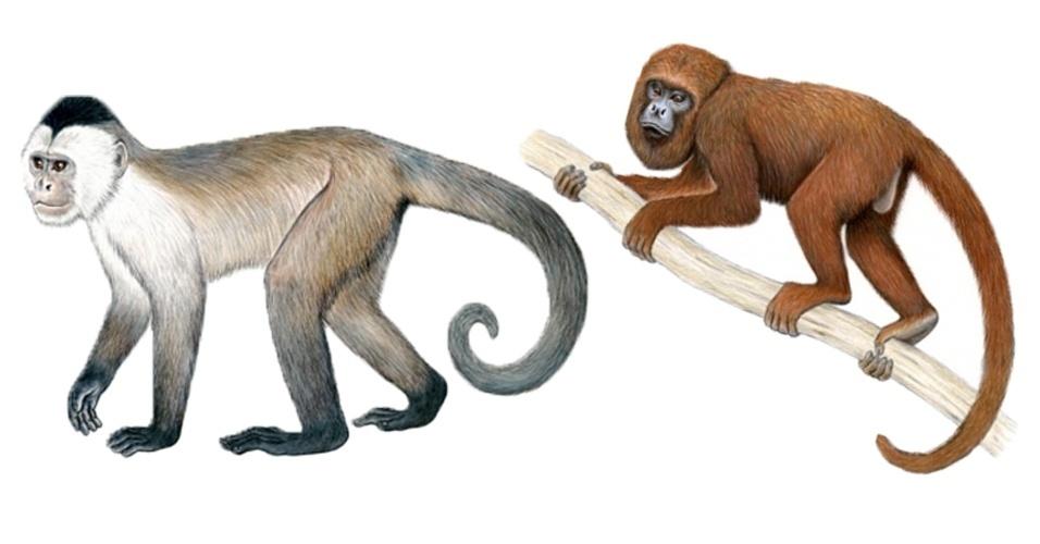 15.out.2012 - Brasil tem duas espécies de macacos entre os 25 primatas mais ameaçados de extinção no planeta, segundo relatório divulgado nesta segunda-feira (15) pela organização União Internacional para a Conservação da Natureza (IUCN, na sigla em inglês). O macaco-caiarara (Cebus kaapori) e o bugio-marrom (Alouatta guariba guariba), da esquerda para direita na ilustração acima, correm risco de desaparecer das florestas do país devido ao desmatamento e à caça