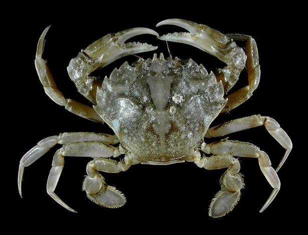 """O """"Liocarcinus vernalis"""" é um tipo de caranguejo que se encontra da África ocidental ao Mar do Norte, embora até cerca de 20 anos atrás se acreditasse que a espécie fosse limitada ao Mediterrâneo - Hans Hillewaert/Wikimedia Commons"""