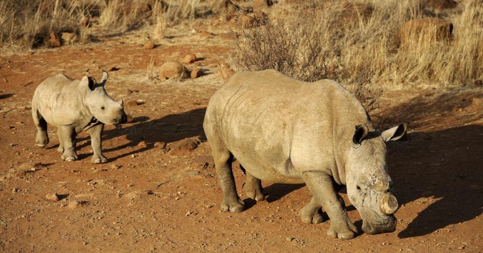 16.out.2012 - A África do Sul divulgou que a morte de rinocerontes no país alcançou um recorde em 2012, com 455 registros até outubro ? em 2011, foram 448 mortes. Devido ao uso medicinal em países asiáticos, o quilo do osso do animal chega a custar no mercado negro até US$ 65 mil (cerca de R$ 132 mil)