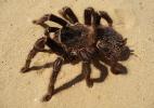 Caranguejeiras: Maiores aranhas da terra provocam medo e admiração - George Chernilevsky/Wikimedia Commons