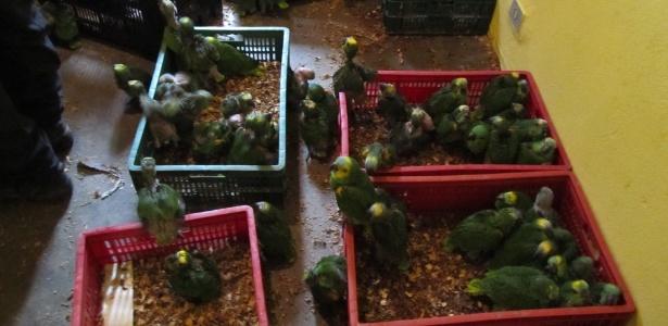 Papagaios apreendidos em operação da Polícia Federal  - Divulgação/PF