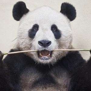 """Acima, a foto de James Glossop para o jornal britânico """"The Times"""" mostra o panda macho Yang Guang no zoológico de Edimburgo, Escócia, flagrado em março de 2012.   - James Glossop, para o The Times/Picture Editor""""s Guild Awards"""