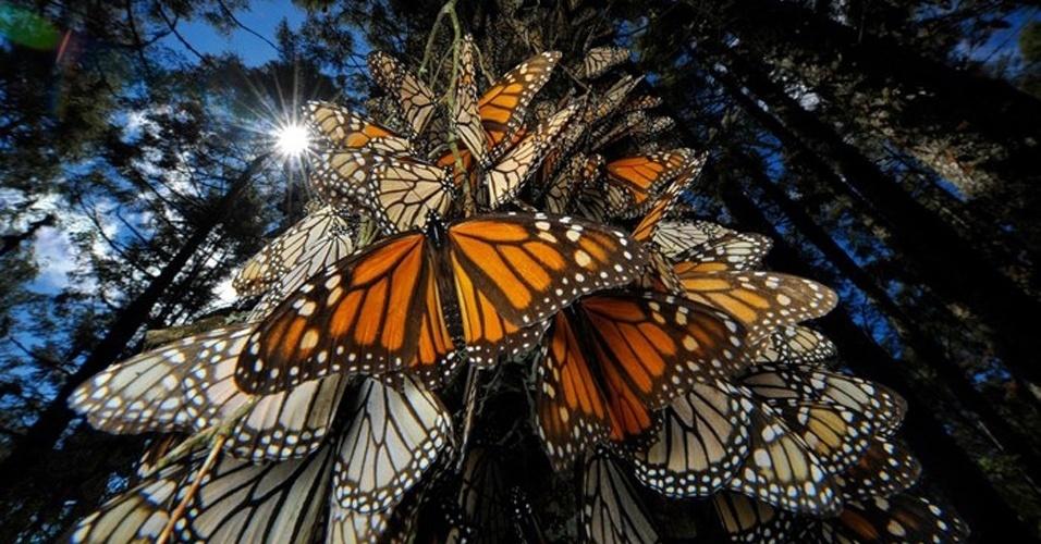 23.out.2012 - Dezenas de borboletas-monarcas (Danaus plexippus) se amontoam no tronco de uma árvore do Santuário Chincua Serra, no México. Entre outubro e março, cerca de 1 bilhão dos insetos saem dos Estados Unidos e do Canadá em direção à reserva para se manterem aquecidas. Como as borboletas têm apenas dois meses de vida, é preciso quatro gerações para completar o voo migratório anual