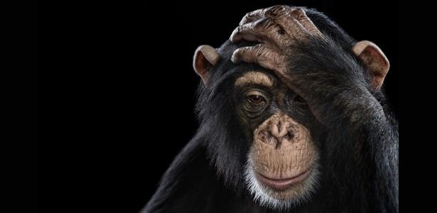 """Chimpanzés mostraram comportamento tipicamente """"humano"""" durante experimento com o Jogo do Ultimato"""