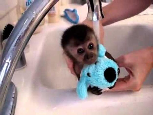 O macaquinho não quis soltar o cachorro de pelúcia... O primeiro banho às vezes assusta, mas logo ele vai estar fazendo a maior farra!