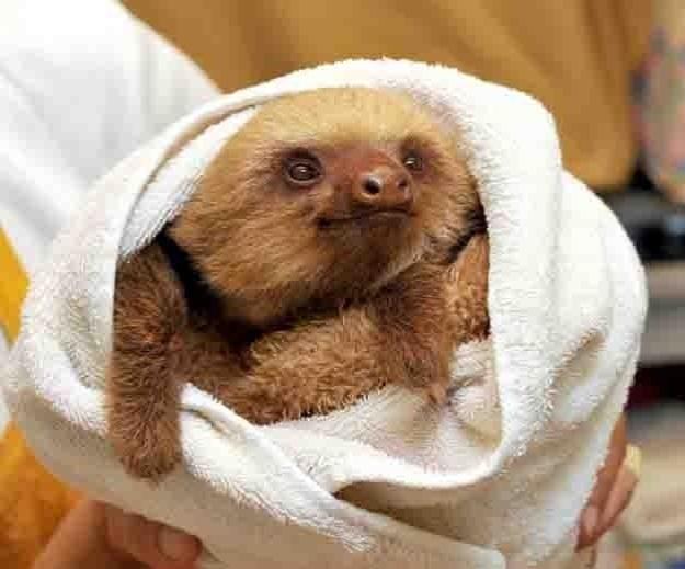O que é mais fofo: a toalha branquinha ou o pelo desse bicho-preguiça?