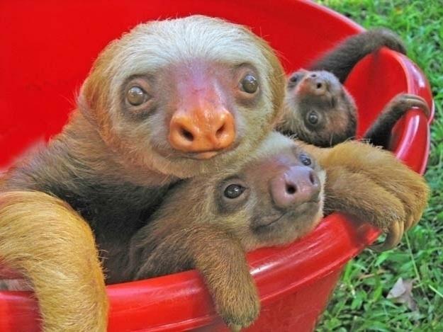 Os preguiças podem até ser lentos e calmos, com aquela carinha de sono. Mas abrem um sorrisão quando toda turma vai pra banheira