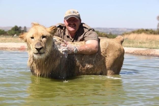 Quando a sujeira é muita, é preciso esfregar, esfregar e esfregar. Que o diga o tratador desse leão
