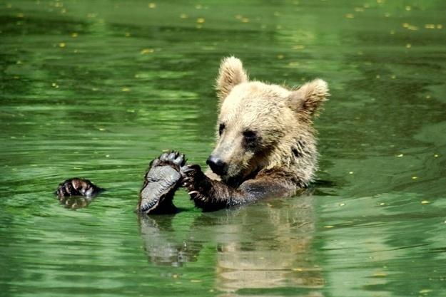 Quem não gostaria de tomar banho numa banheira enorme. O urso da foto pode fazer isso todos os dias num zoológico dos Estados Unidos