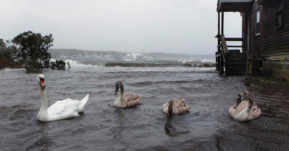29.out.2012 - Cisnes nadam em quintal alagado em Southampton, nos Estados Unidos. As cidades da costa leste do país já sofrem com chuvas e ventos fortes em razão da aproximação do furacão Sandy. O fenômeno pode afetar cerca de 60 milhões de pessoas, afirmou a empresa United States National Grid, que fornece energia aos Estados Unidos