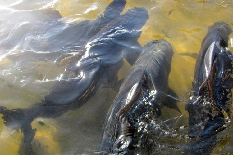 Além dos tambaquis, que chegam a pesar 20 kg, a lagoa possui mais de 10 espécies de peixes