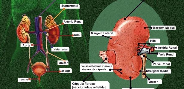 Concepção artística do sistema urinário e da anatomia do rim. Os tamanhos e a posição dos elementos foram alterados por motivos didáticos e podem não corresponder exatamente à realidade.