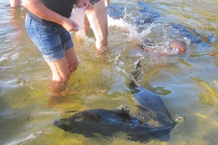 Turistas alimentam e nadam ao lados dos enormes peixes tambaquis