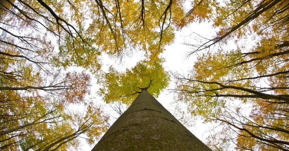 4.nov.2012 - À exceção da maioria das árvores de Frankfurt, Alemanha, que já perderam suas folhas, estas faias ainda exibem folhas com cores de outono neste domingo (4)