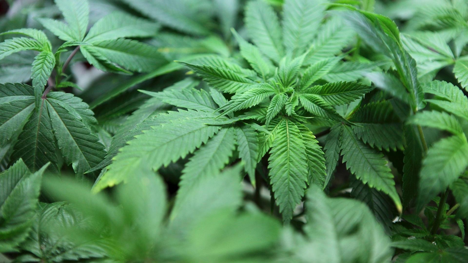 Procurador põe em dúvida tributação da maconha legalizada no Colorado -  Reuters - UOL Notícias