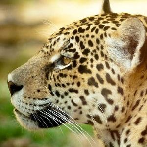 Pesquisador diz que efeito da técnica de clonagem ainda é desconhecido em animais silvestres brasileiros - Fabio Grison/Wiki Commons