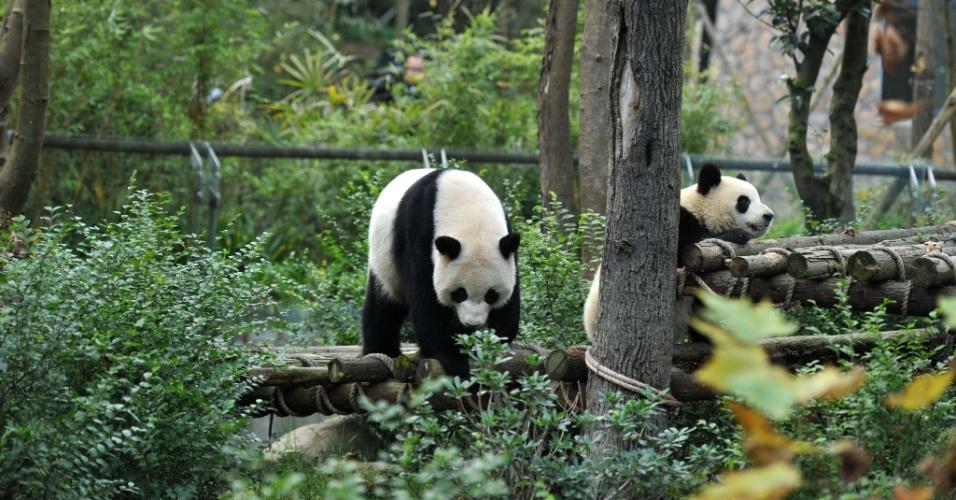 16.nov.2012 - Pandas andam em árvores no Vale do Panda, em Chengdu, província chinesa de Sichuan