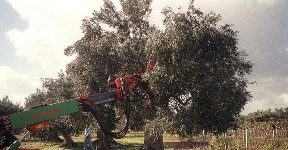 colheita mecanizada de azeitonas na região de Palermo, na Itália