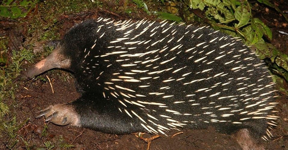O animal acima é uma equinídia, um dos três mamíferos que põe ovos, assim como os répteis e as aves,. Ele faz parte dos chamados monotremados - um grupo que inclui o ornitorrinco. Com nariz comprido e garras afiadas, é o mais antigo mamífero do mundo