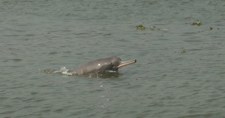 Outro mamífero dono de um grande nariz e que não faz parte de muitas campanhas de preservação é o golfinho do rio Ganges. Com um bico longo, dentes grandes e visíveis, ele é um golfinho de água doce, assim como o boto cor-de-rosa, natural da Amazônia