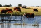 Bilionário argentino quer negociar suas vacas em Nova York (Foto: Enrique Marcarian/Reuters)