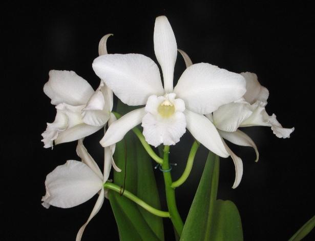 Variedade alba, da espécie Laelia purpurata, é a mais difícil de ser encontrada e está na 13ª Expoverão - AOSP/ Divulgação