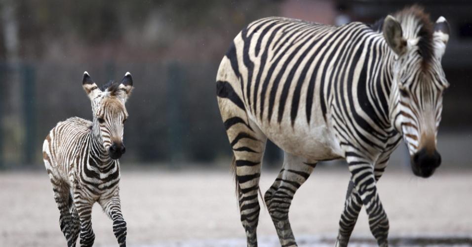 30.nov.2012 - Filhote de zebra nascido dia 11 caminha ao lado da mãe, no zoológico Tierpark, nesta sexta-feira (30), em Berlim
