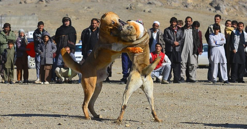 30.nov.2012 - Homens afegãos observam rinha de cães nos arredores de Cabul, nesta sexta-feira (30). Este tipo de evento, proibido durante o regime Taleban, voltou a se tornar popular no país