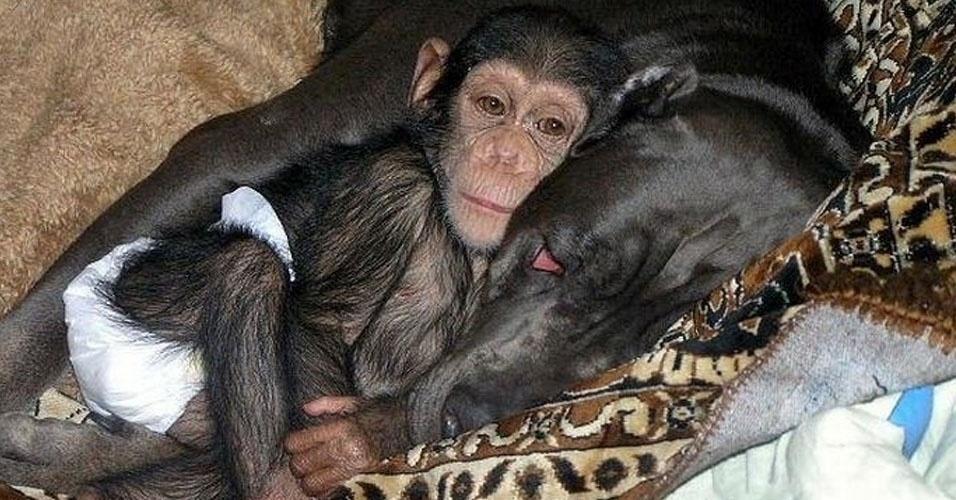 30.nov.2012 - O pequeno chimpanzé, renegado pela própria mãe em um zoológico russo, recebe o carrinho materno de uma cachorra da raça mastim