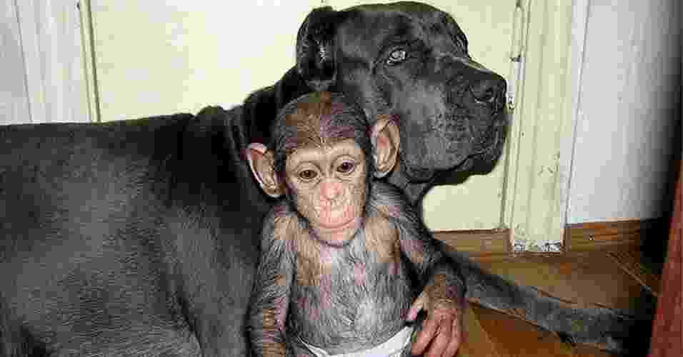 30.nov.2012 - O pequeno chimpanzé senta ao lado de sua mãe adotiva -- uma cachorra da raça mastim--, que passou a tratá-lo com filho, desde que o animal foi renegado pela própria mãe em um zoológico da Rússia - Reprodução/English Russia