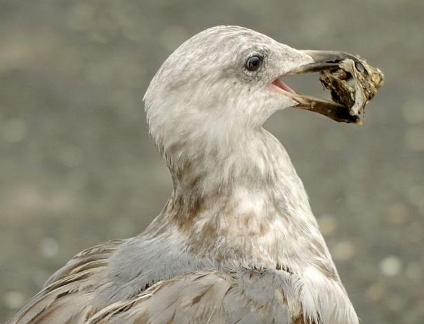 30.nov.2012 - Pássaro carrega ostra em Inverness, Califórnia (EUA)