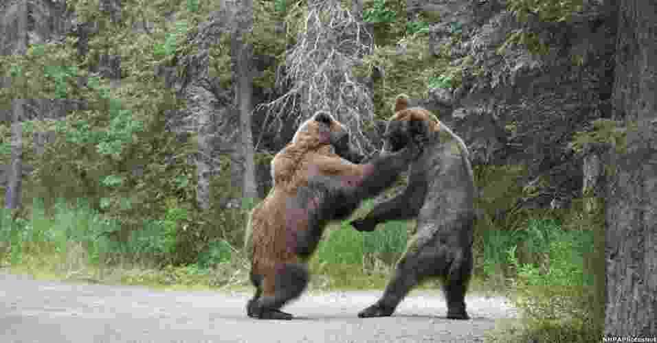 5.dez.2012 - O fotógrafo japonês Shogo Asao foi ao Parque Nacional Katmai, no Alasca (EUA), na esperança de capturar a interação de duas das principais atrações no local: os ursos e os salmões. Acabou fotografando uma briga entre ursos - Shogo Asao/BBC