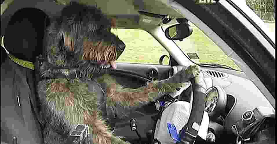 6.dez.2012 - Uma instituição que cuida de cães abandonados na Nova Zelândia está ensinando estes animais a dirigir. As aulas para os três cães, Monty, Ginny e Porter, fazem parte de uma campanha da Sociedade para Prevenção da Crueldade contra Animais (SPCA) do país. O objetivo da brincadeira é encontrar novos lares para cachorros abandonados, mostrando o quanto eles podem ser inteligentes - BBC