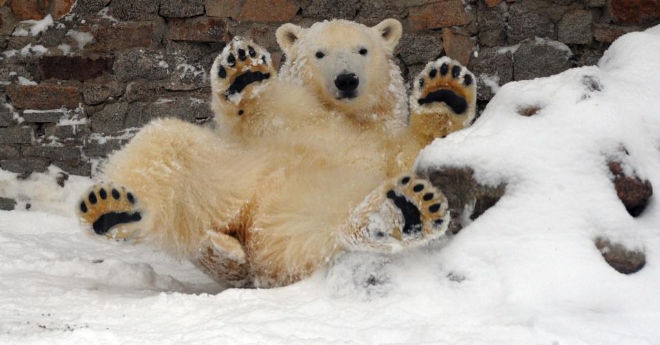 8.dez.2012 - Urso polar desliza na neve no zoológico de São Petersburgo, na Rússia