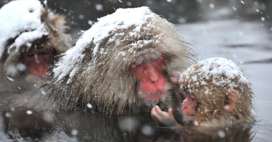 """10.dez.2012 - Macacos-japoneses, conhecidos como """"macacos da neve"""", tomam banho ao ar livre em uma fonte termal, no parque Jigokudani, na cidade de Yamanouchi, em Nagano. Cerca de 160 animais habitam a área e são atrações turísticas"""