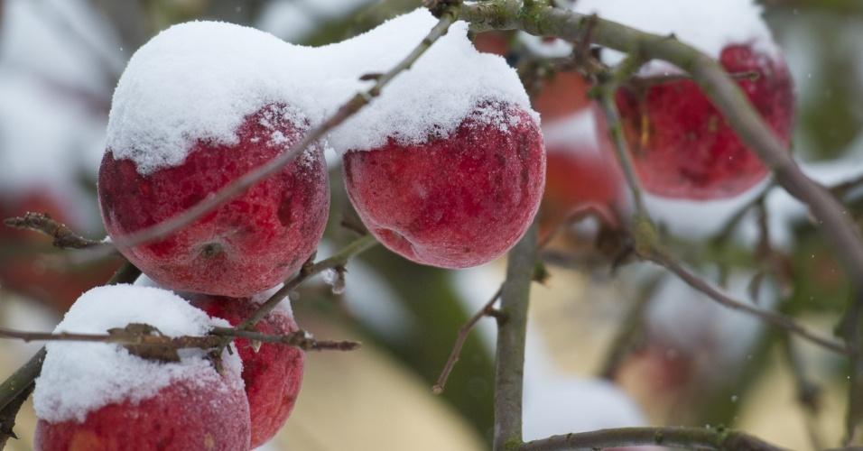 11.dez.2012 - Maçãs ficaram cobertas de neve em Sieversdorf, no leste da Alamanha