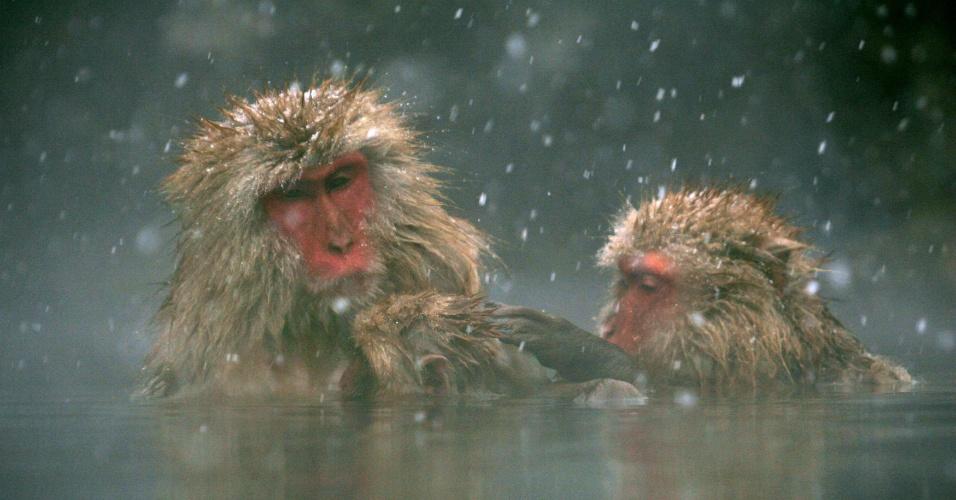 """12.mar.2006 - Macacos-japoneses, conhecidos como """"macacos da neve"""", tomam banho ao ar livre em fonte termal do parque Jigokudani, na cidade de Yamanouchi (Japão). Cerca de 160 animais habitam a área e são atrações turísticas"""