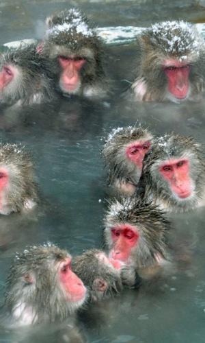 """15.dez.2010 - Macacos-japoneses, conhecidos como """"macacos da neve"""", tomam banho ao ar livre em fonte termal do parque Jigokudani, na cidade de Yamanouchi (Japão). Cerca de 160 animais habitam a área e são atrações turísticas"""