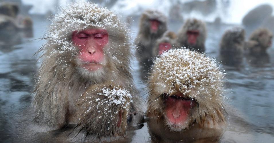 """24.jan.2012 - Macacos-japoneses, conhecidos como """"macacos da neve"""", tomam banho ao ar livre em uma fonte termal, no parque Jigokudani, na cidade de Yamanouchi, em Nagano. Cerca de 160 animais habitam a área e são atrações turísticas"""
