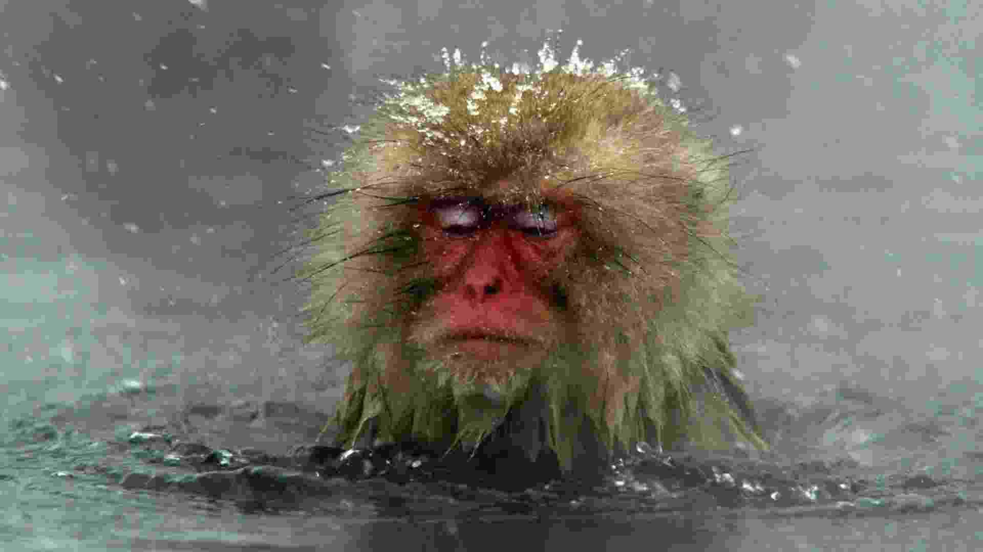 """7.dez.2006 - Macacos-japoneses, conhecidos como """"macacos da neve"""", tomam banho ao ar livre em fonte termal do parque Jigokudani, na cidade de Yamanouchi (Japão). Cerca de 160 animais habitam a área e são atrações turísticas - EFE"""